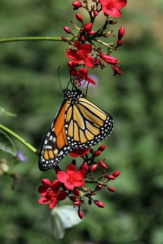 falling-from-a-star:  Monarch on red flowers. by Alexandra Rudge.1,7 millon + visits Thanks!! on Flickr.