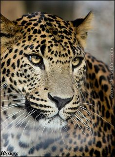 Jaguar (Panthera Onca). Help keep the Amazon rainforest standing at rainforestrescue.sky.com