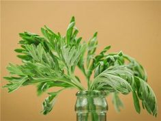 Wormwood *Check Shipping restrictions*