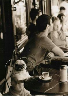 Coffee break for pug: