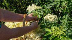 Na každém rohu nyní vidíme květy bezu černého Plants, Plant, Planets