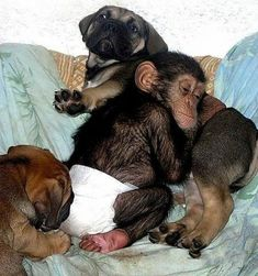 Mastiff adopts orphaned chimp, shown here with the litter of puppies.