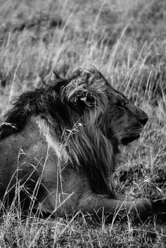 Male lion @ masai mara. Picture by Nele Markey