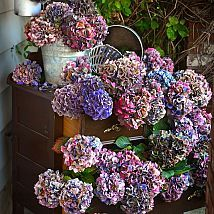 The secrets to drying hydrangeas... with no wrinkled petals in sight! By Funky Junk Interiors featured on Hometalk