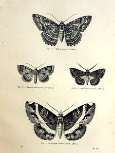 1860 Vintage moths engraving antique original by LyraNebulaPrints, $25.00