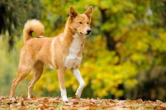 32 Most Beautiful Brown Canaan Dog Pictures And Images Dog Photos, Dog Pictures, I Love Dogs, Cute Dogs, Canaan Dog, Spitz Dogs, Herding Dogs, Wild Dogs, Dogs Of The World