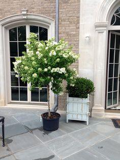 White Hydrangea tree!