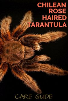 The rose hair tarantula is one of the world's most popular pet tarantulas. Beautiful in appearance, easy to care for and very docile, this care sheet looks at exactly how to keep Chilean rose hair tarantulas as pets.