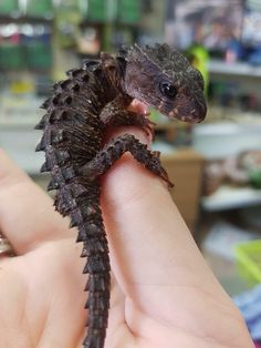 🔥 Crocodile Skink looks like a 🔥 fire . und amphibien 🔥 Crocodile Skink looks like a 🔥 fire baby dragon. Reptiles Et Amphibiens, Cute Reptiles, Reptiles Preschool, Funny Lizards, Cute Creatures, Beautiful Creatures, Animals Beautiful, Cute Little Animals, Cute Funny Animals