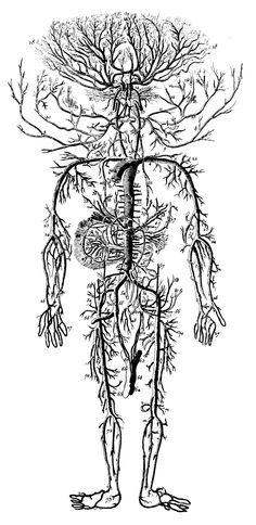 circulatory-system-antique-medical-illustration.jpg (1461×3000)