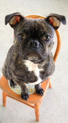 My Bugg (Boston Terrier Pug mix) ! Saki :) Best dog ever!