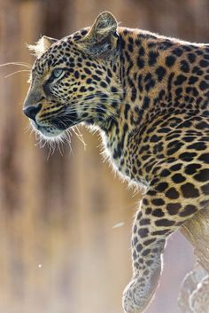 "Leopard. See Over 2500 more animal pictures on my Facebook ""Animals Are Awesome"" page. animals wildlife pictures nature fish birds photography cute beautiful"