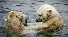 Ursos polares Liberdade e Viktor se abraçam no zoológico Ouwehands, em Rhenen, na Holanda. Foto: Remko De Waal/AFP