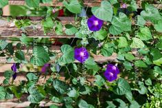 Hard To Kill Flowers for Your Garden climbing purple Morning Glories Summer Blooming Flowers, Spring Flowers, Flower Planters, Flower Pots, Colorful Flowers, Beautiful Flowers, Flower Pot Tower, Clock Flower, Smelling Flowers