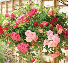 Miniature roses are wonderful for hanging baskets as they keep flowering all season long.