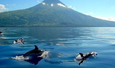 Dolphins frolic in the Azores.