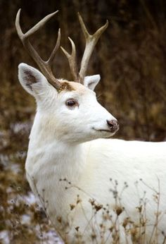 The White Deer of the Senecas. These deer are not albinos, they do not have red eyes. They are a recessive form of white-tailed deer. The Seneca herd which numbers about 200 animals, is the largest of its kind in the world.