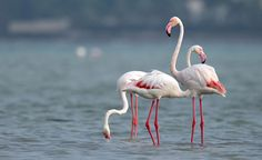 fun facts and trivia about flamingos the spruce - 236×144