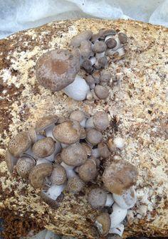 Beech: Golden RalphE - Sawdust Spawn