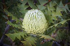 https://flic.kr/p/rC4aYf   Banksia baxteri-_IGP6050   Some banksias in Australia are visited by small marsupials called honey possums or pygmy possums.