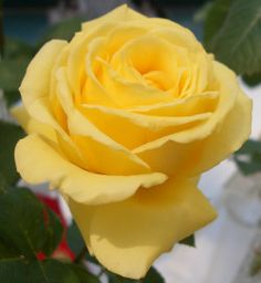 different yellow roses - Google Search