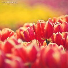 Tulip VI by WindyLife.deviantart.com