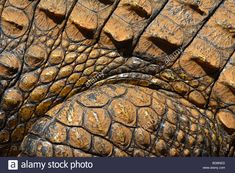Stock Photo - Macro photograph of skin or hide of a Nile Crocodile (crocodylus Niloticus) at the Kwena Crocodile Farm, South Africa Nile Crocodile, Reptile Skin, Reptiles, Africa, Stock Photos, Google, Image, Afro