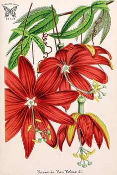 Vanilla Passion Vine. Passiflora antioquiensis, as Tacsonia vanvolxemii.  Illustrierte Garten-Zeitung (1865) | by Swallowtail Garden Seeds