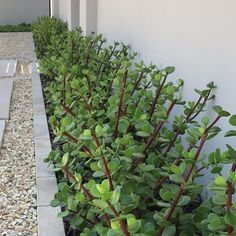 Strategy, tricks, and guide in pursuance of acquiring the most ideal result and ensuring the optimum utilization of Landscaping Hedges Ficus Hedge, Bamboo Hedge, Cedar Hedge, Rose Hedge, Flower Hedge, Privet Hedge, Arborvitae Landscaping, Privacy Landscaping, Plants