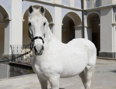 Piber's Lipizzaner N. Nima I. Today, 11th / April / 2018, is his 39 birthday. He id nowdays te oldest Lipizzan stallion in the world.