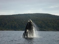 Humpback Whale breaching in New Zealand waters