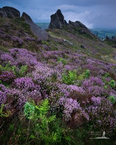Heather and Bracken at Ramshaw Rocks, the Peak District, England