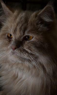 480x800 Wallpaper cat, fluffy, eyes, dark