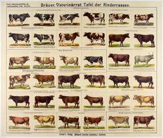 Tafel der Rinderassen