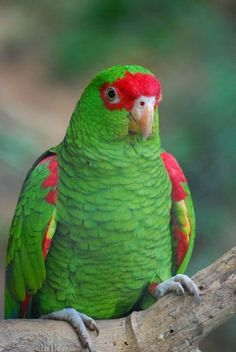 Red-spectacled Parrot (Amazona Pretrei)