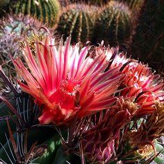 Blooming in the Cactus Gallery- Ferocactus peninsulae #cactus #cactusblooms #flowers