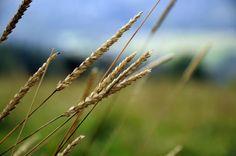 ⭐ New free photo at Avopix.com - Beige Weeds in a Field of Grass    ✅ https://avopix.com/photo/36026-beige-weeds-in-a-field-of-grass    #wheat #cereal #field #grain #plant #avopix #free #photos #public #domain