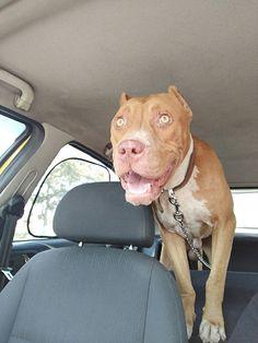 undefined Pet Taxi, Pitbulls, Pets, Animals, Animales, Pit Bulls, Animaux, Pitbull, Animal