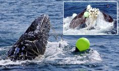 Tired whales getting caught in shark nets while 'sleep swimming'