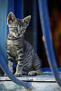 """""""The cat is a wild animal who inhabits the homes of humans."""" --Konrad Lorenz"""