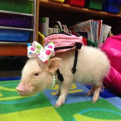 Back to school | Animals Zone Priscilla the mini pig