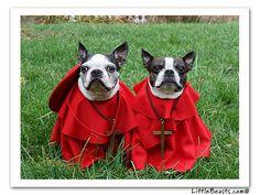 Boston Terrier Spanish Inquisition