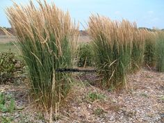 Full size picture of Karl Foerster's Feather Reed Grass, Feather Reed Grass 'Karl Foerster' (Calamagrostis acutiflora)
