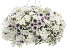 Container 'Maria' featuring: Petunias 'Supertunia Latte' & 'Supertunia White' with Lobularia 'Snow Princess' 'Maria' featuring: Petunias 'Supertunia Latte' & 'Supertunia White' with Lobularia 'Snow Princess' Container Flowers, Hanging Plants, Lawn And Garden, Alyssum, Petunias, Hanging Garden, Flowers, Balcony Flowers, Blooming Flowers