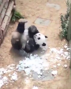 Funny Panda,Tiere Related Best Women Jeans Push Up Jeans Camo Pants Women Capri Jeans - cute- cuteHolly Habeck - Savvy & Inspired living for the. Niedlicher Panda, Panda Funny, Cute Panda, Cute Little Animals, Cute Funny Animals, Cute Cats, Cute Animal Videos, Cute Animal Pictures, Cute Videos