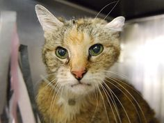 EVY – A1088744 FEMALE, BRN TABBY / BROWN, DOMESTIC SH MIX,10 yrs STRAY – STRAY WAIT, HOLD FOR ID Reason STRAY Intake condition GERIATRIC Intake Date 09/06/2016, From NY 10458, DueOut Date 09/09/2016, I came in with Group/Litter #K16-073082. Medical Behavior Evaluation YELLOW Medical Summary scanned positive female cat OU clear / slight sunken in AU slight dity unable to clean due to behavior Teeth :missing near molar . mild tartar No discharge from nasal AMBx4 Declawed:No Alert Responsive