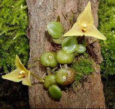 Trias Ovata Mini Orchid