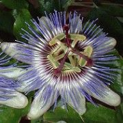 Passiflora caerulea Blue passion flower Blue crown Common passion flower Flower of five wounds Southern beauty Wild apricot mayana chinensis Blue passion vine Care Plant Varieties & Pruning Advice Conservatory Plants, White Flowers, Plants, Caerulea, Blue Passion Flower, Passiflora Caerulea, Passiflora, Flowers, Flowering Vines