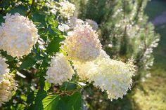 10 Popular Types of Hydrangeas - Growing Tips & Photos | Green and Vibrant Hydrangea Tree, Hydrangea Shrub, Climbing Hydrangea, Hydrangea Macrophylla, Big Flowers, Colorful Flowers, Home Design, Shrubs For Sale, Types Of Hydrangeas