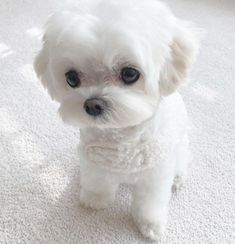 Cute Baby Dogs, Cute Puppies, Cute Babies, Pet Dogs, Dog Cat, Pets, Baby Animals, Cute Animals, Maltese Puppies